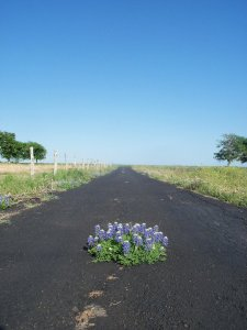 blue-bonnets-on-road